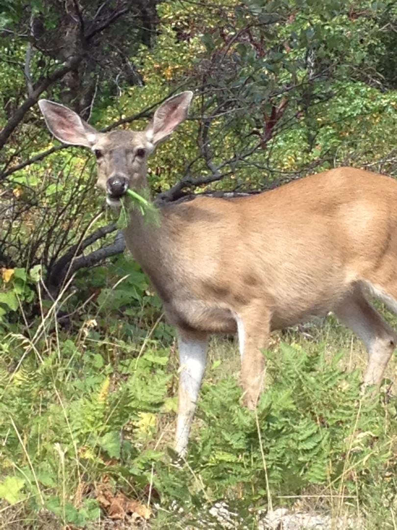 deer on Mt Shasta