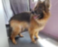 Schäferhund C. hachher 1