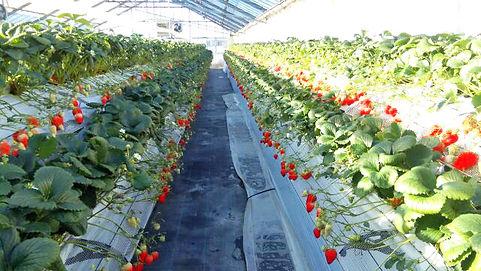 いちご狩り 高設栽培の温室