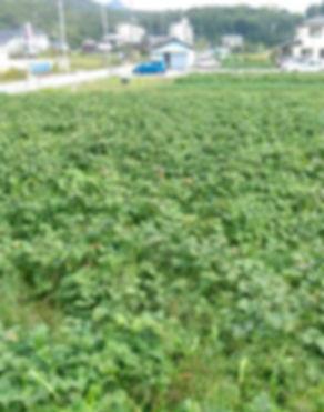 兵庫、神戸三田、黒豆の畑 いちご狩り 黒豆枝豆狩りの新さんだ農園 いな岡