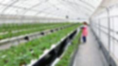 神戸三田、温室の中での作業 いちご狩り 黒豆枝豆狩り 新さんだ農園 いな岡