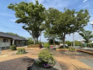 事務所の前のけやきの木