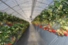 神戸三田、新さんだ農園 いな岡の温室 高設栽培のいちご いちご狩り 黒豆枝豆狩り