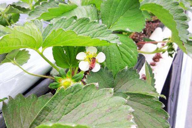 ミツバチによる自然交配 いちご狩りの新さんだ農園 いな岡