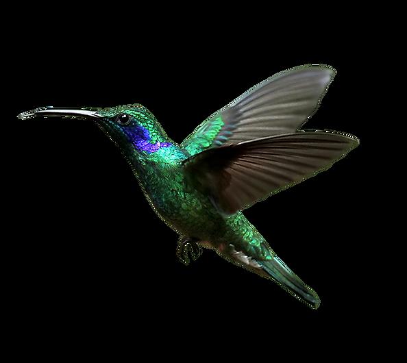 hummingbird_PNG58.png