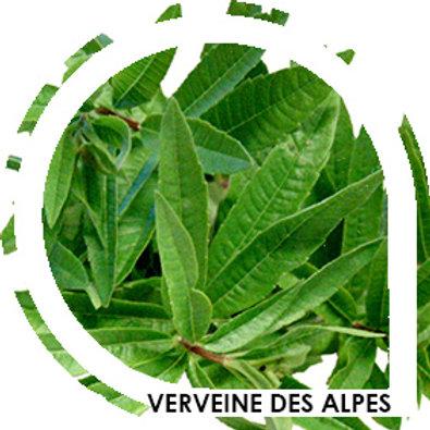 VERVEINE DES ALPES - Citronnelle