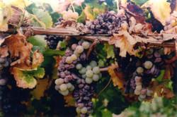 Grapes005