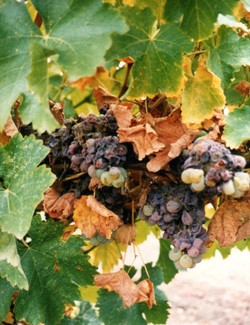 Grapes003