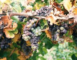 Grapes001
