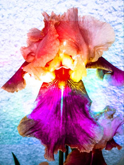 Beasrded Iris