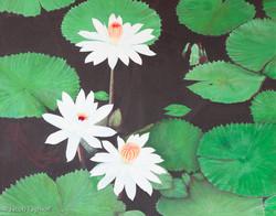 Lotus Serenity