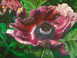 Oriental Poppy1