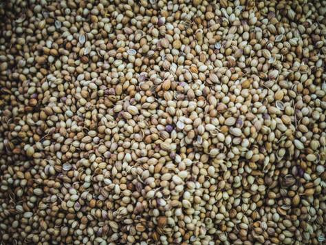 Sementes de cânhamo – o alimento mais completo que irá encontrar