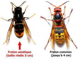 L'invasion de frelons asiatiques dans l'Oise !