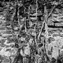 Le lierre sur le mur