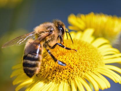 Descubra qual é o papel das abelhas na polinização e como protegê-las!