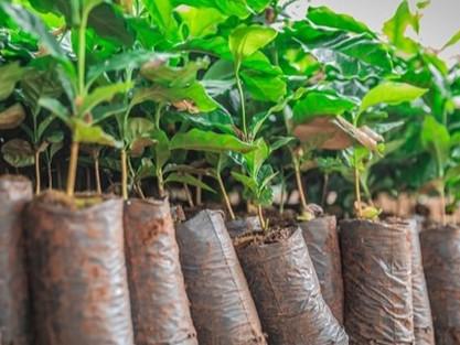 Você sabe como conseguir mudas de árvores de graça em Sorocaba?