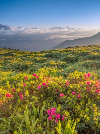 Alpine flowers above the Rhône Valley. Valais, Switzerland