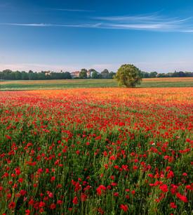 Poppy field. Warwickshire, England