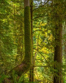 John Muir Woods. California, USA