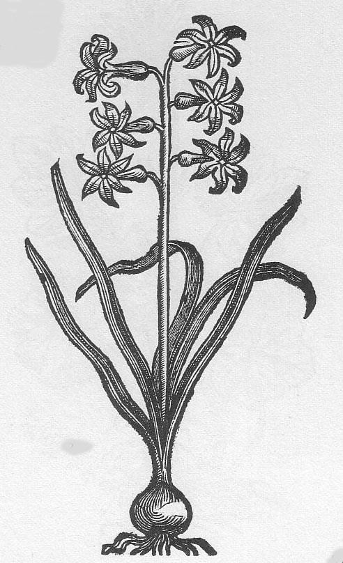 Hyacinth Original 1