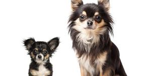 Apró páciensek… Tudunk -e 2-3 kg súlyú állatot laparoszkópiával műteni?