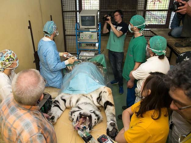 tigris műtéts.jpg