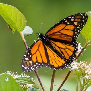 monarch butterfly 1.jpg