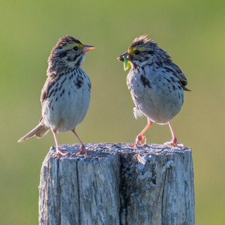 chipping sparrows.jpg