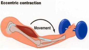 eccentric contraction
