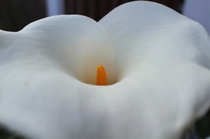 Joy Bland - Photography - White Flower