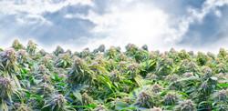 Washington marijuana farm with potent marijuana plants ready to be picked