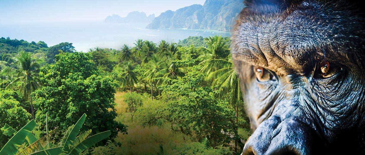 Guerilla Glue cannabis strain represented by gorilla in jungle