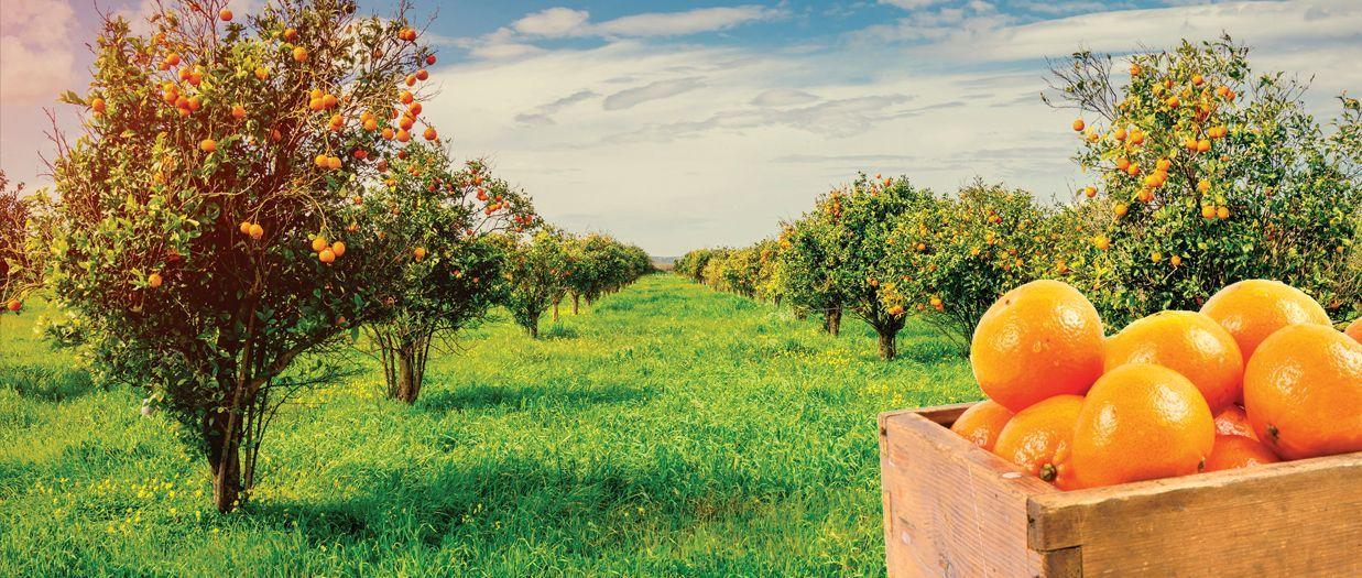 Tangie citrus-flavored marijuana strain from Washington represented by tangerine orchard