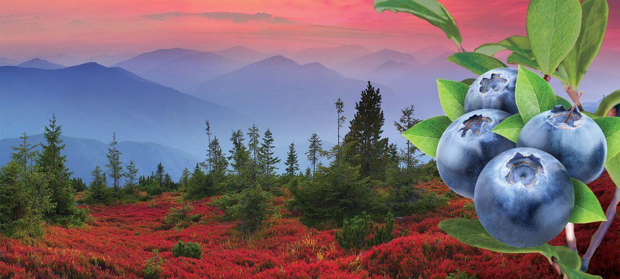 Berry White cannabis strain by Washington marijuana farm represented by blueberries and Washington m