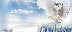 The White marijuana strain represented by snowy owl flying over wintry Washington woods