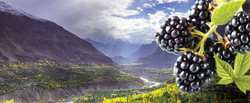 Blackberry Kush marijuana strain from Washington cannabis supplier represented by blackberries in Ca