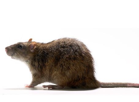 Rats are the talk of the West