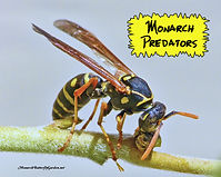 monarch-predators-paper-wasp.jpg