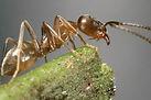 Coastal Brown Ant.jpg