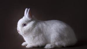 מהי עלות הגידול של ארנבים ננסיים לעומת ארנבים רגילים?