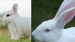 איך ניתן להבדיל בין ארנבון ננסי לארנב רגיל?