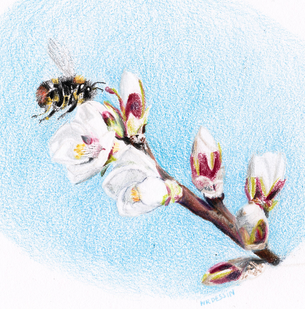 Amandier en fleur   NR DESSIN   2019