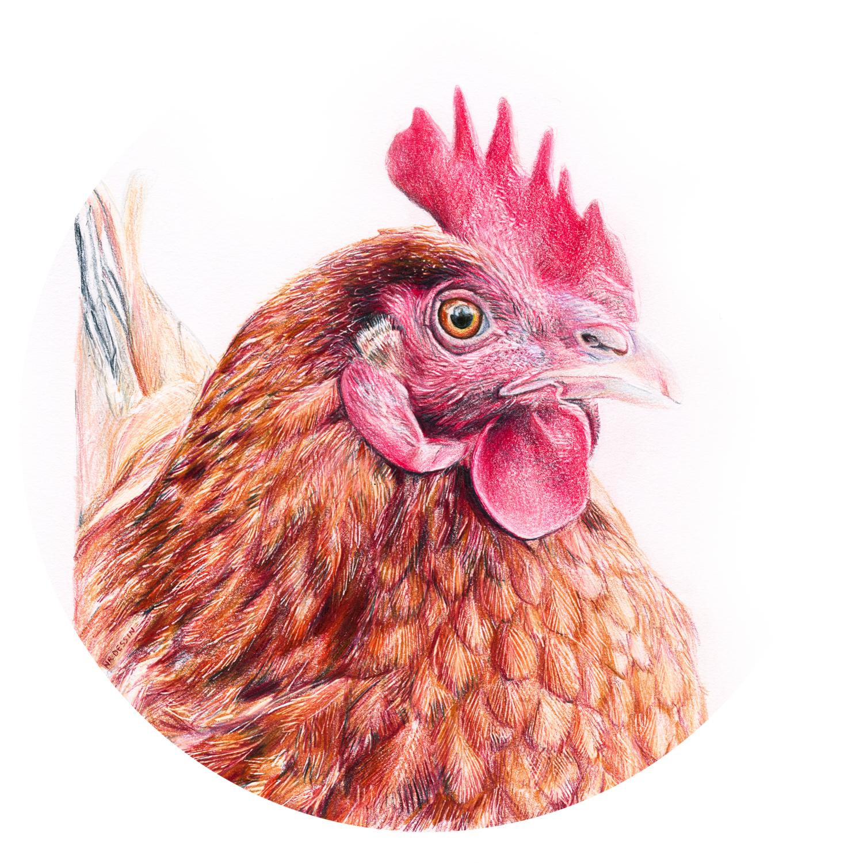 Portrait d'une poule