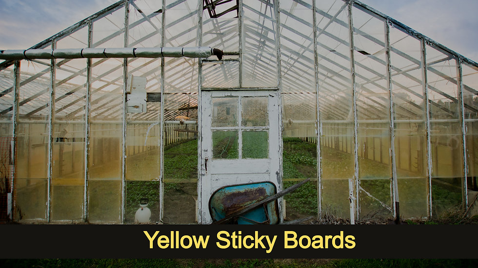 Yellow Sticky Boards
