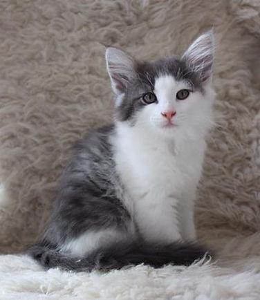 Catticus Phoebe NFO as 03 23.jpg