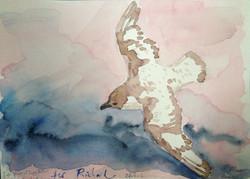 Cape Petrel for Richard (2013)