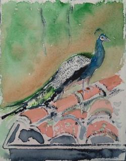 Peacock in Our Quito Hacienda (2013)