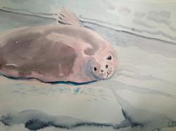 Crabeater seal (2013)
