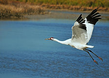 Whooping Crane in Flight,Leslie Natale,EFT,Emotional FreedomTechnique,Tapping,Austin Texas,EFT Energy Coach,www.photoswithvision.com,Certified EFT Practitioner,Divorce Recovery,Weight-Loss,Back Pain,Fear of Flying,Phobias,EFT Universe Certified Practitioner
